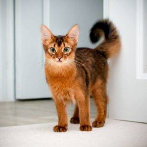 Somali Cat Somali Breed Description Characteristics Appearance History Hvostnyus Besthousecatcare