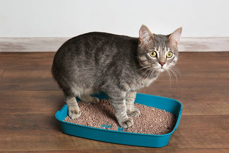 Болезни кошек: цистит