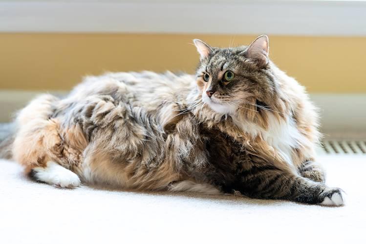 Чем кормить крупных кошек?