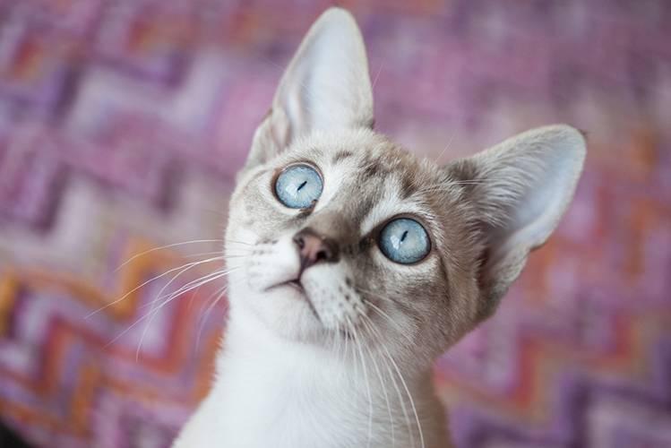 Цистит у кошек: симптомы