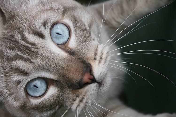 Голубоглазка (охос азулес) кошка