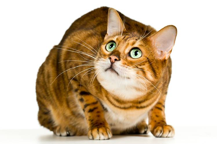 Идиопатический цистит у кошек