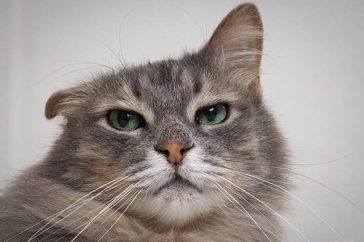 Как чистить уши кошке в домашних условиях?