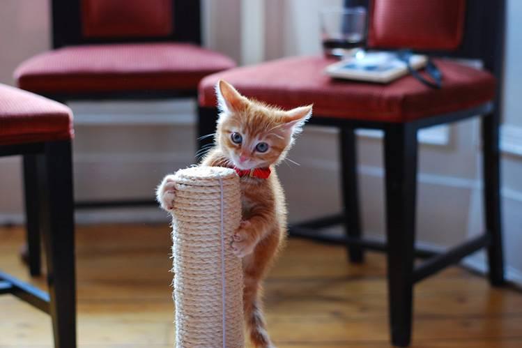 Как отучить котенка драть обои и мебель?