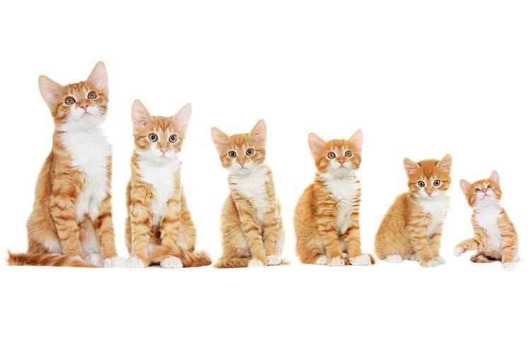 Когда и как переводить котенка на взрослый корм?