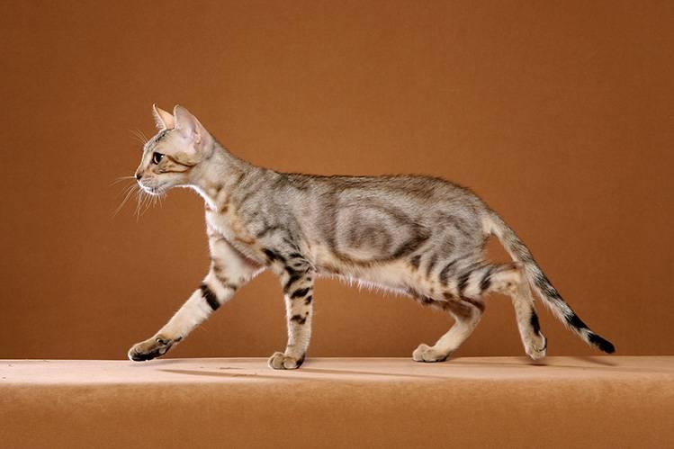 Сококе (африканская кошка)