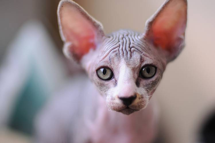 Уход за кошками сфинксами