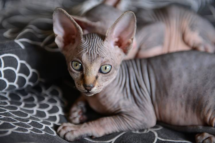 Уход за котенком сфинксом